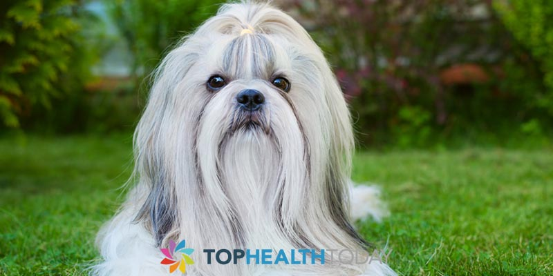 Tear Removal for Shih-Tzu